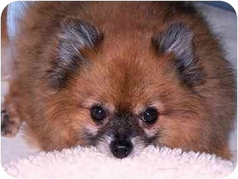 Pomeranian Dog for adoption in Drayton, South Carolina - Sparky VIDEO!
