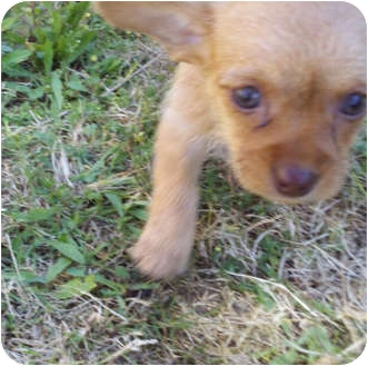 Dachshund/Chihuahua Mix Puppy for adoption in Bakersfield, California - Chrissy