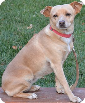 Chihuahua/Labrador Retriever Mix Dog for adoption in Simi Valley, California - Fawn