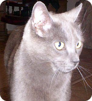 British Shorthair Cat for adoption in Lake Arrowhead, California - River