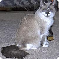 Adopt A Pet :: Yeti - Davis, CA