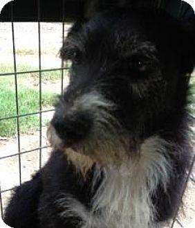 Schnauzer (Standard) Mix Dog for adoption in Quinlan, Texas - Terri