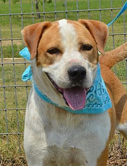 Hound (Unknown Type)/Boxer Mix Dog for adoption in Liverpool, Texas - WALKER