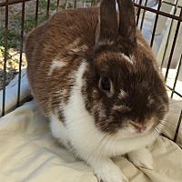 Dutch Mix for adoption in San Clemente, California - CHEWBIE