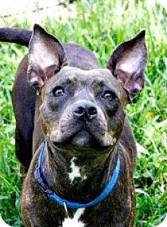 American Staffordshire Terrier Mix Dog for adoption in Lake City, Florida - Nessie