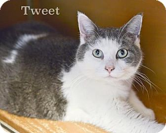 Domestic Shorthair Cat for adoption in West Des Moines, Iowa - Tweet
