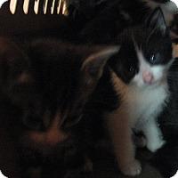 Adopt A Pet :: kittens and Mama - New york, NY