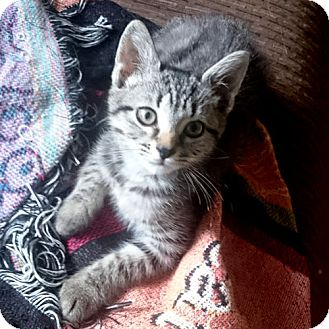 Domestic Shorthair Kitten for adoption in Norristown, Pennsylvania - Maxine