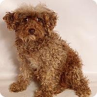 Adopt A Pet :: Samantha Poodle - St. Louis, MO