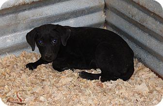 Labrador Retriever/Beagle Mix Dog for adoption in Harmony, Glocester, Rhode Island - Miss Maple Moonpie