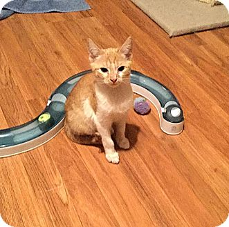 Domestic Shorthair Kitten for adoption in Mooresville, North Carolina - A..  Liam