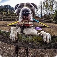 Adopt A Pet :: Bandit - Los Olivos, CA