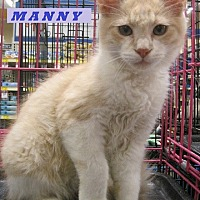 Domestic Mediumhair Cat for adoption in Alhambra, California - Manny