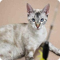Siamese Cat for adoption in Plano, Texas - MING MING