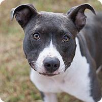 Adopt A Pet :: Layla - Homewood, AL