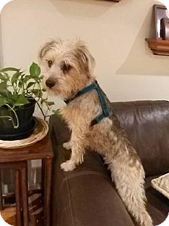 Shih Tzu Mix Dog for adoption in Whitestone, New York - Sugar Bitches