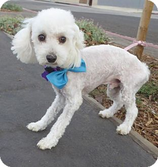 Maltese/Poodle (Miniature) Mix Dog for adoption in Seattle, Washington - Blinkie BB