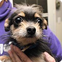 Chihuahua Mix Dog for adoption in Fort Madison, Iowa - Batavia