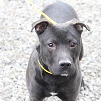 Adopt A Pet :: Braxton - Greensboro, NC