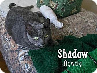 Domestic Shorthair Cat for adoption in Merrifield, Virginia - Shadow