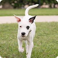 Adopt A Pet :: Kinley - boston, MA