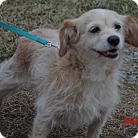 Adopt A Pet :: Taffy (13 lb) Awesome Girl! - Niagara Falls, NY