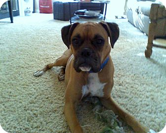 Boxer Dog for adoption in Santa Monica, California - Hurley