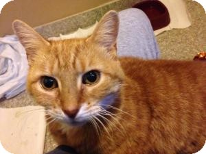 Domestic Shorthair Cat for adoption in bloomfield, New Jersey - Michalina aka Maddie