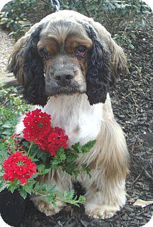 Cocker Spaniel Dog for adoption in Sugarland, Texas - Matt