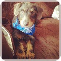 Dachshund Dog for adoption in Silsbee, Texas - Luke