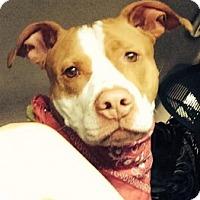 Adopt A Pet :: Harley - Medford, MA