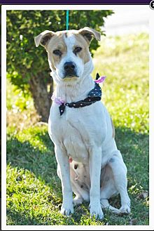 Pit Bull Terrier/German Shorthaired Pointer Mix Dog for adoption in Mechanicsburg, Pennsylvania - Rosie