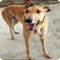 Adopt A Pet :: Bravo - Florence, KY