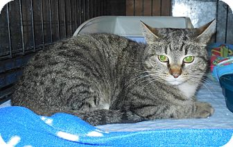 Domestic Shorthair Cat for adoption in Whiting, Indiana - Coil