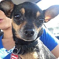 Adopt A Pet :: Macchiato - Encino, CA