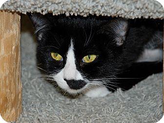 American Shorthair Cat for adoption in Salem, West Virginia - Wild Thing