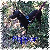 Adopt A Pet :: Pepper - Greensboro, MD