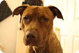 Pit Bull Terrier Mix Dog for adoption in Brooklyn, New York - Korra