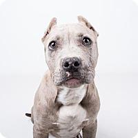 Adopt A Pet :: Riley - chipped - Decatur, GA