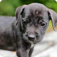 Adopt A Pet :: PUPPY OZZIE - Salem, NH