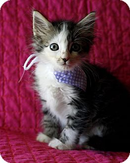 Domestic Mediumhair Kitten for adoption in Mayflower, Arkansas - Peppermint Pattie