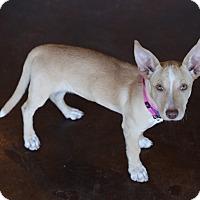 Adopt A Pet :: Olive - San Antonio, TX