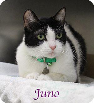 Manx Cat for adoption in Bradenton, Florida - Juno