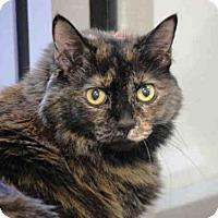 Domestic Mediumhair Cat for adoption in Plano, Texas - APPLE