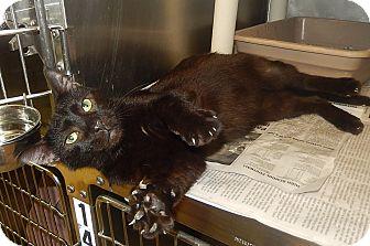 Domestic Shorthair Cat for adoption in Newport, North Carolina - Salem