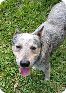 Australian Cattle Dog Dog for adoption in Bradenton, Florida - Levi