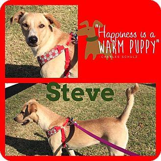 Labrador Retriever Mix Dog for adoption in Snyder, Texas - Steve