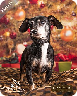 Dachshund Mix Dog for adoption in Ottawa, Kansas - Hannah *$25 Dec Fee*