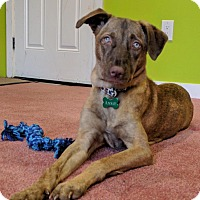 Adopt A Pet :: Annie- Indian Pariah Dog - Monroe, NJ