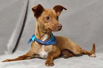 Chihuahua Mix Puppy for adoption in Kerrville, Texas - Bobby Mac